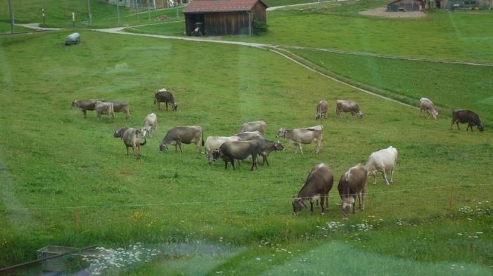 線路沿いで草を食む牛たち